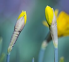 Yellow Daffodils in Spring by nielsp
