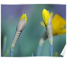 Yellow Daffodils in Spring Poster