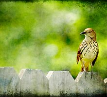 Brown Thrasher by Jonicool