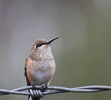 Hummingbird on Barbed Wire by TomInTacoma