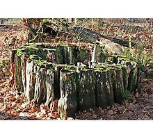 """Western Red Cedar Stump"" Photographic Print"