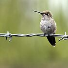 Hummingbird Resting on Wire by TomInTacoma