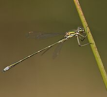 Small spreadwing  by Minne