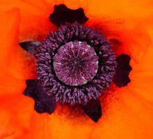 A Poppy's Insides by TomInTacoma
