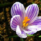 Crocus Dreaming by BlueMoonRose