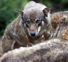 Wolf by Roddy Atkinson