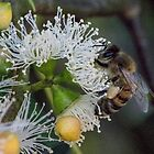 Bee on Gum blossoms Diamond Creek Track 201502211536 by Fred Mitchell