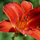 lily  by Debra LINKEVICS
