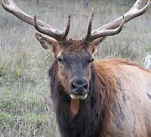 Bull elk by carpenter777