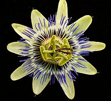 Patsy the pashing passionfruit flower by Charles McKean