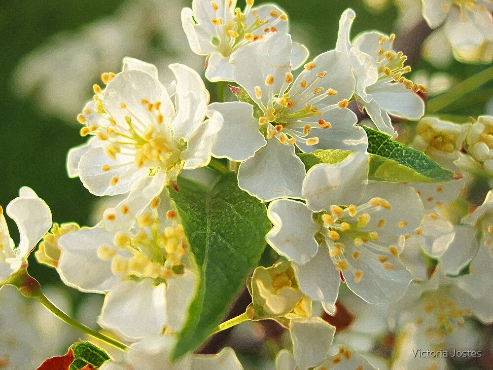 Apple Blossoms by Victoria Jostes