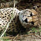 Leopard by evapod