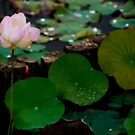 Lotus Pond by Steven  Siow