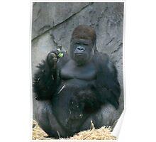 Silverback Gorilla Poster
