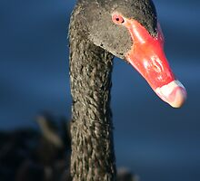 Black Swan by klphotographics