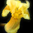 Yellow Bearded Iris by Bev Pascoe