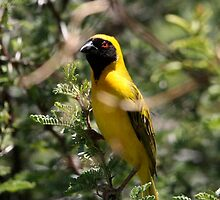 Souther Masked-Weaver by Scallywag