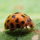 28-spotted Potato Ladybird - Epilachna vigintioctopunctata  by BevB