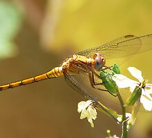 Dragonfly by Nirsha