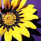 Yellow flower with purple background by evapod