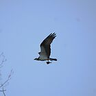 Mr. Osprey with dinner by zachdier