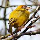 Weaver Bird by IanPharesPhoto