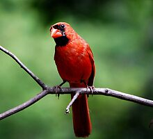 Male Cardinal   by LjMaxx
