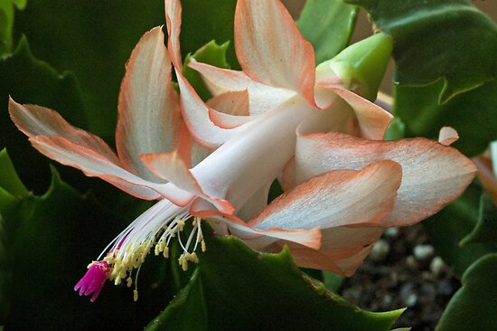 Cactus flower by cherylc1