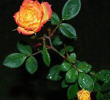 Chameleon Rose by IslandBreeze