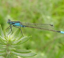 Skinny blue dragonfly by CapturedByKylie