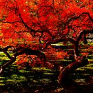 &quot;Red Dragon&quot;: Japanese Maple, Newton, Massachusetts by Richard VanWart