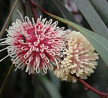 Hakea by Debra LINKEVICS