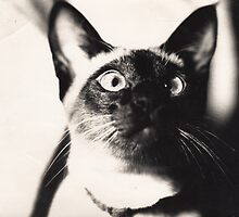 Abang ... the best cat in the world by Blueluna