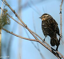 female redwing blackbird by Kelly Hopkins