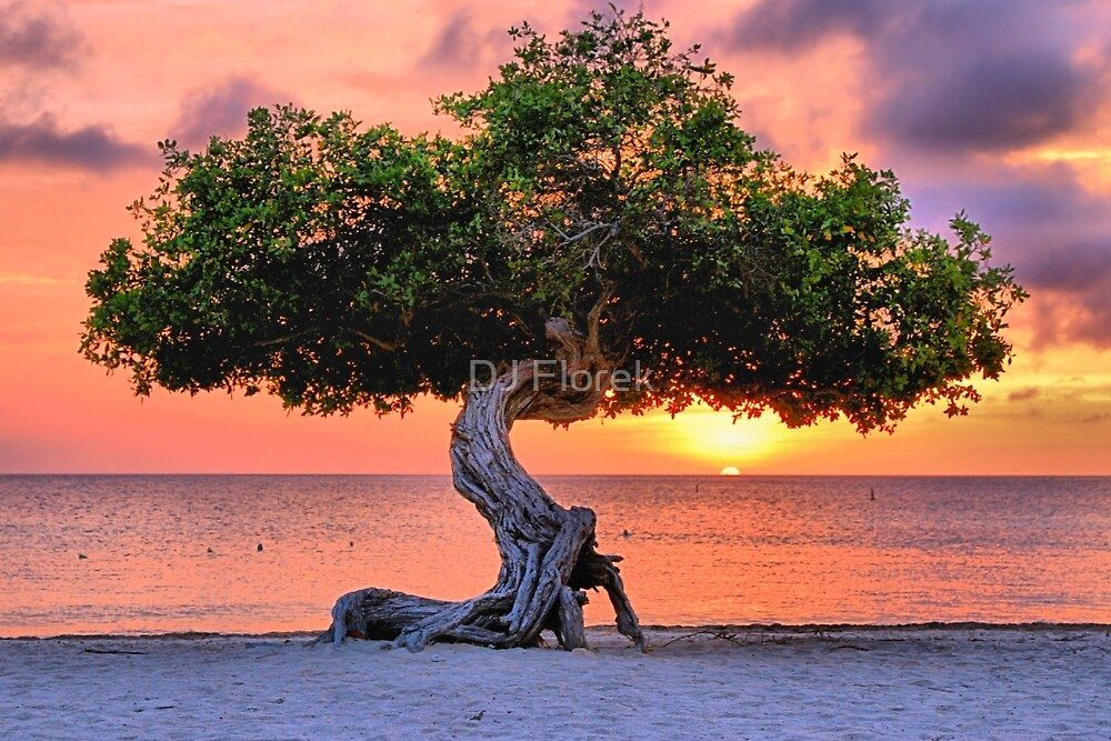 Watapana Tree - Aruba by DJ Florek
