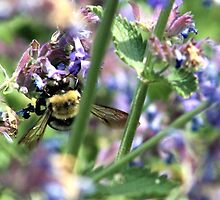 Michigan City, IN: Bumble Bee on Purple Flowers by ACImaging