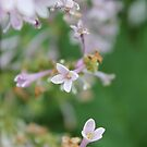 Carnegie, PA: Lonely Lilac Bloom by ACImaging