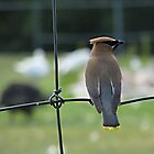 WaxWing. by VioletInk