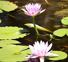 The Lovely Lily Pad Flower. by caz60B