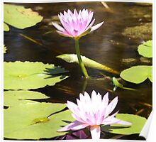 The Lovely Lily Pad Flower. Poster