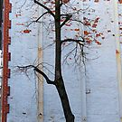 Boston, MA: Rogue Tree by ACImaging