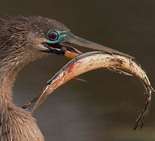 Happy Anhinga by William C. Gladish