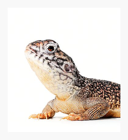 Central Netted Dragon [Ctenophorus nuchalis] Photographic Print