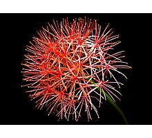 Blood Lily Photographic Print