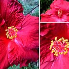 Red Hibiscus  by Madalena Lobao-Tello
