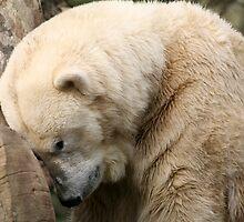 Polar Bear by Linda More