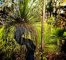 Australian Grass Tree by Peter Evans