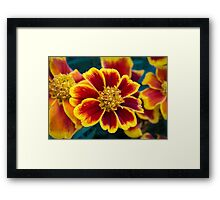 Red and Yellow Marigold Framed Print