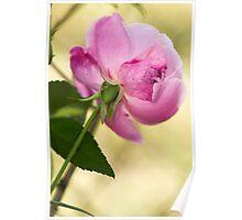 Bruised Rose Poster