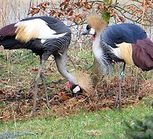 Grey Crowned Crane by ienemien